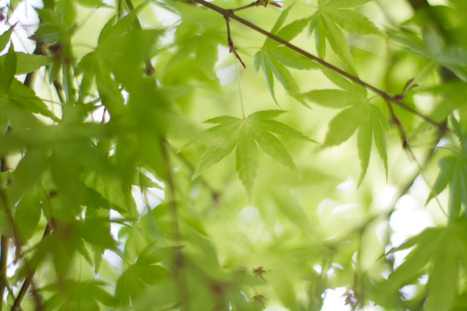 KB_greenjapanesemaple-9881.jpg