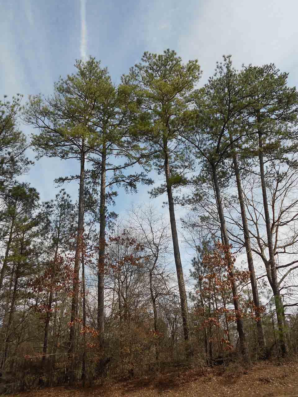 RW_Pinetrees-0685.JPG