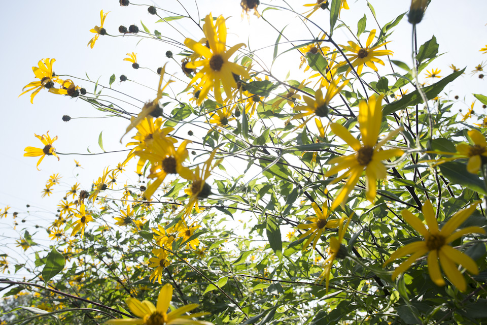 jeruselum artichokes-5953.jpg