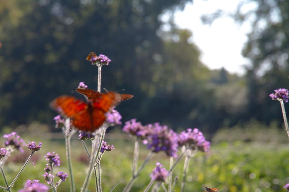 KB_3porchfarm-butterflies-4229.jpg