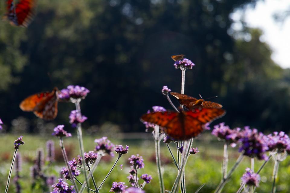 KB_3porchfarm-butterflies-4230.jpg