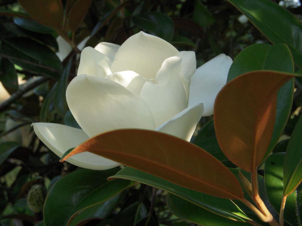RW_magnolias-7946.JPG