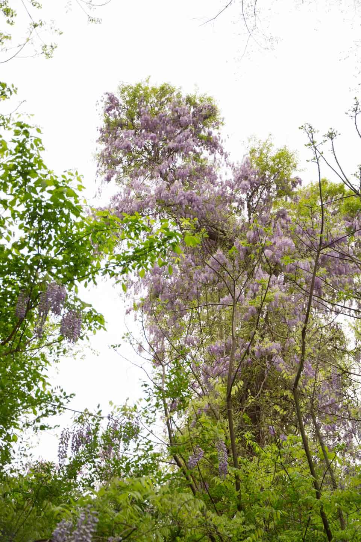 KB_wisteria-6892.jpg