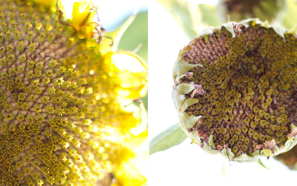 sunflowersI.jpg