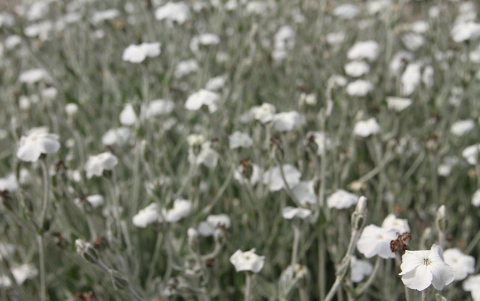 KB_whiteblooms.jpg
