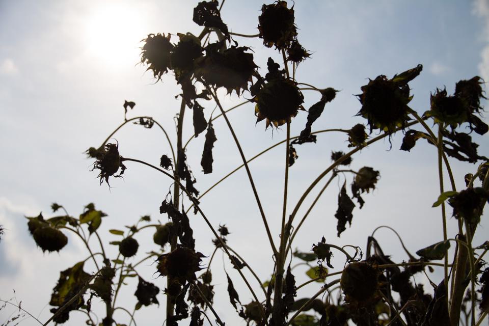 KB_sunflowersilhouettes-4803.jpg