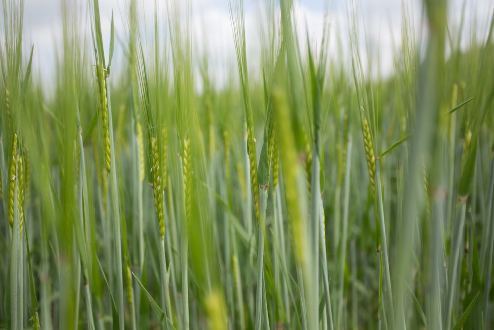 france_wheat-1706.jpg