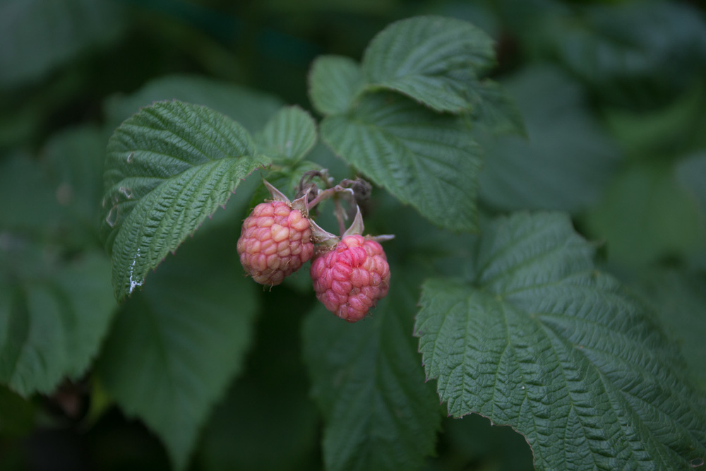 early raspberries.jpg