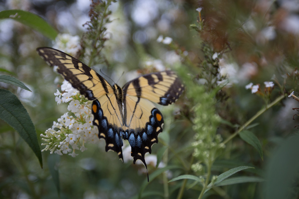 KB_butterfly-bush-1629.jpg