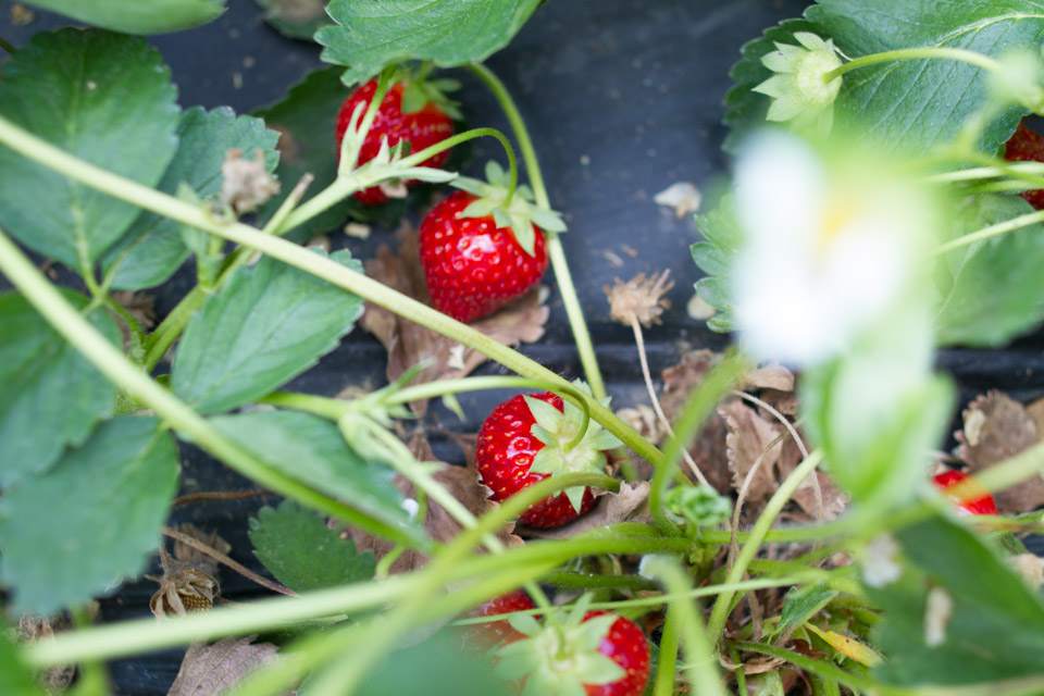 KB_strawberry-fields-forever-7445.jpg