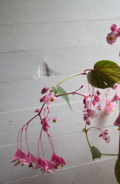 hearty begonia-5118.jpg
