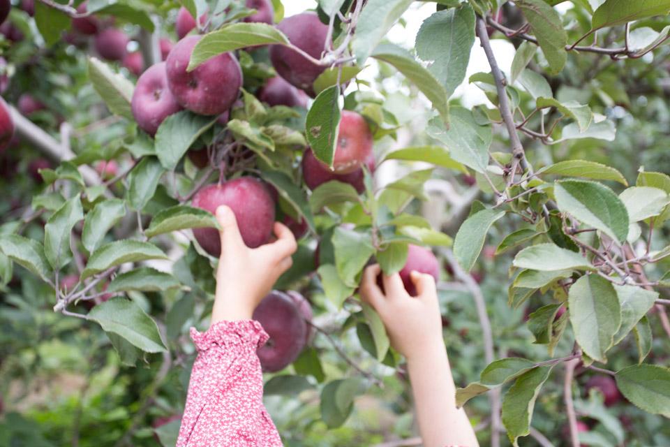 KB_apple-pickin'-2315.jpg