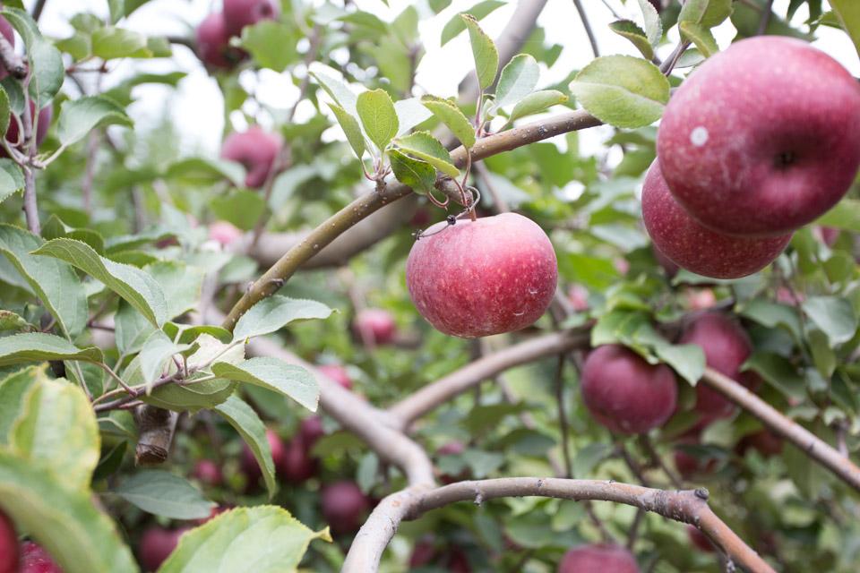 KB_apple-pickin'-2312.jpg