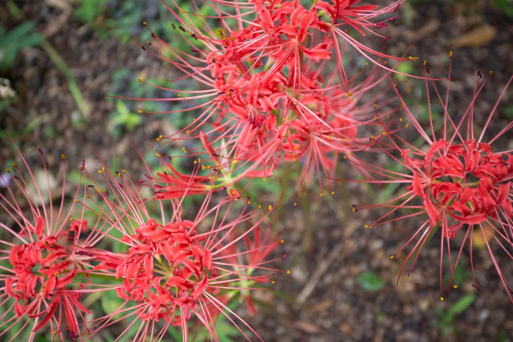 firecracker lily-5989.jpg