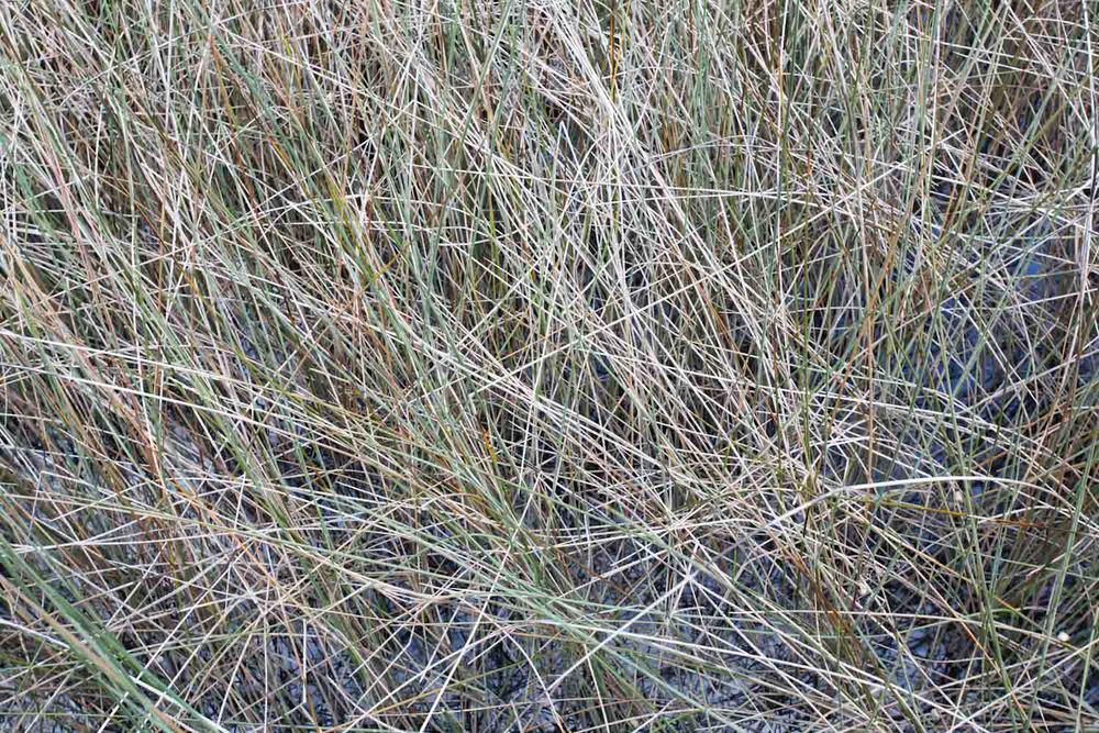 marshgrass-2.jpg