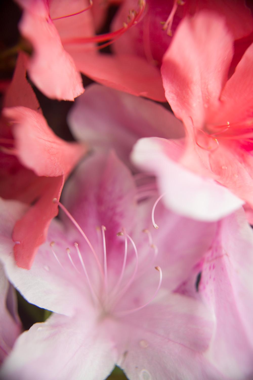 azaleas-9982.jpg