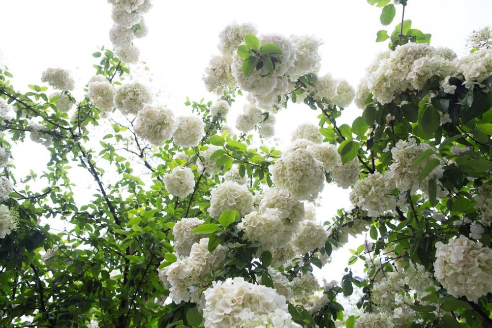 viburnum petal preserving-6265.jpg