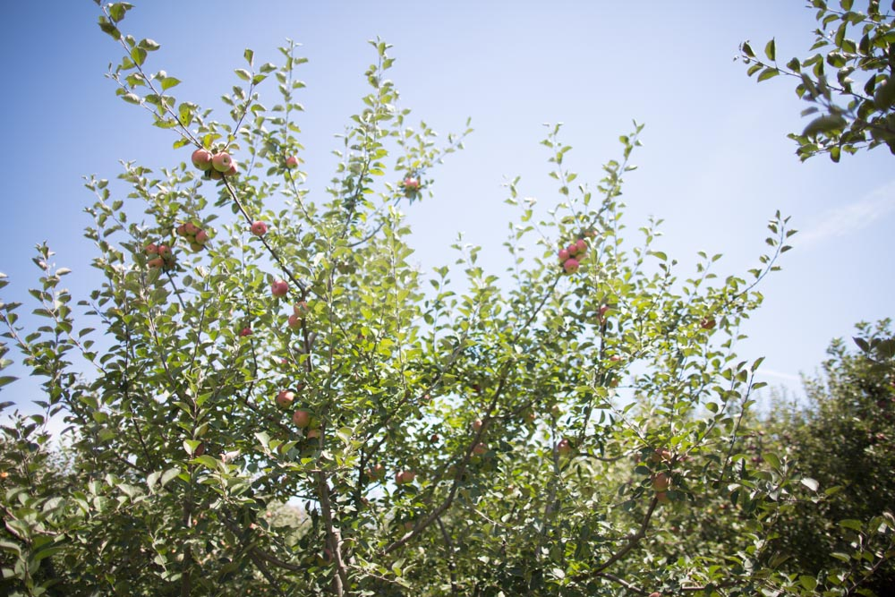 KB_apple-picking-9707.jpg