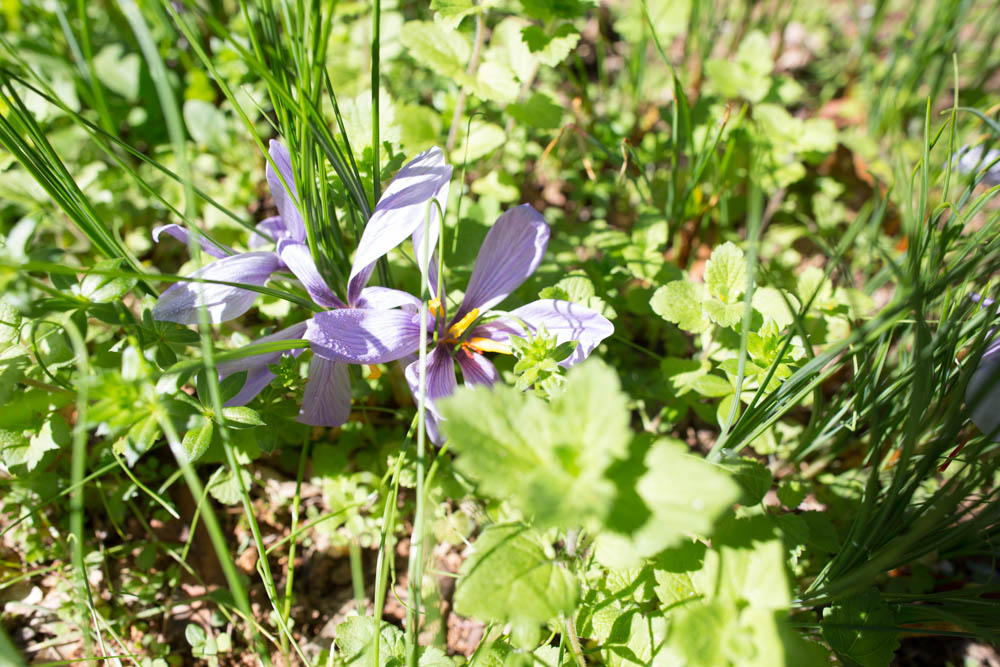 KB_harvesting-saffron-9584.jpg