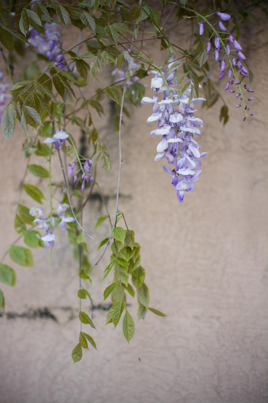 kk_wisteria-6713.jpg