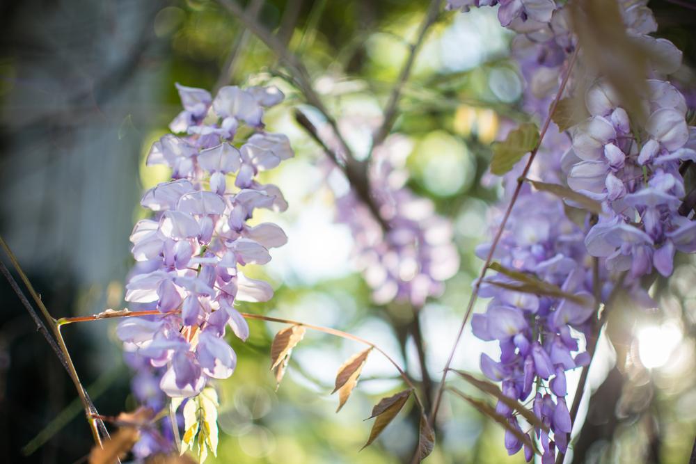 kk_wisteria-6728.jpg