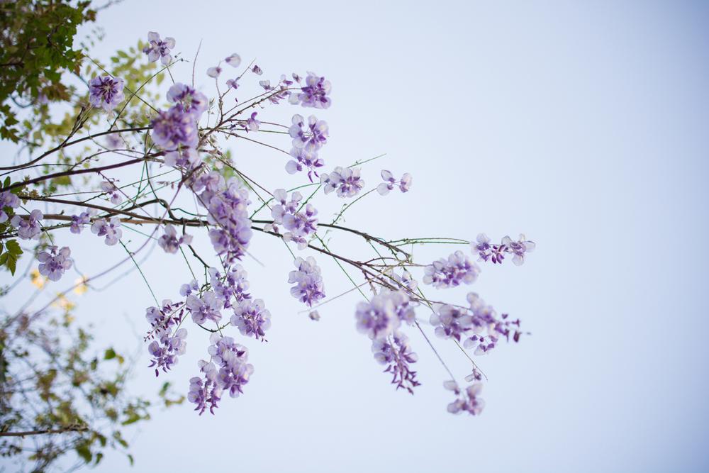 kk_wisteria-6718.jpg