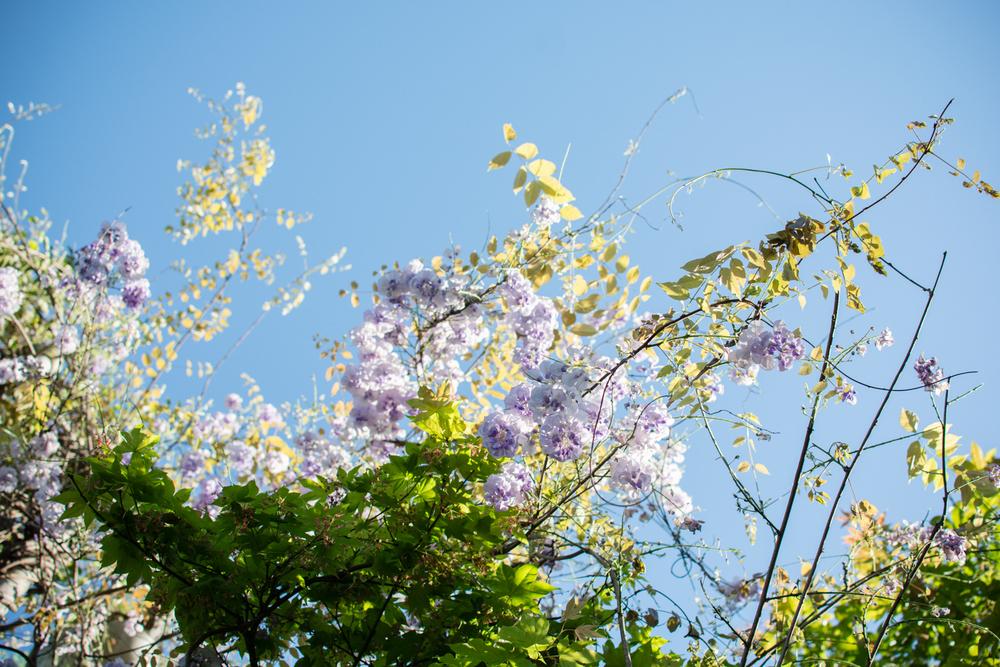 kk_wisteria-6740.jpg
