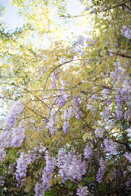 kk_wisteria-6747.jpg