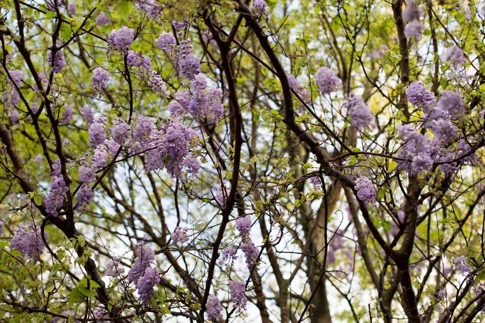 KB_wisteria-9622.jpg