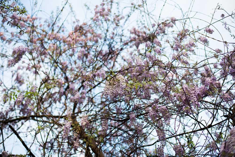 KB_wisteria-9627.jpg