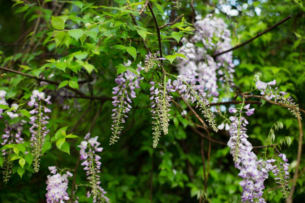 KB_wisteria-9628.jpg