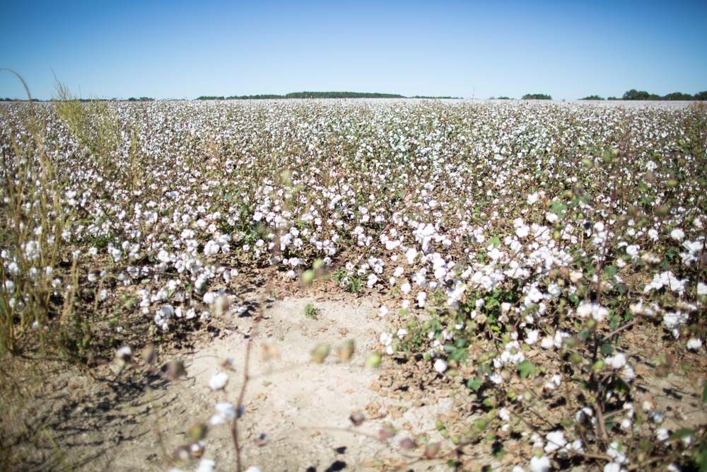 KB_cotton-fields-9083.jpg