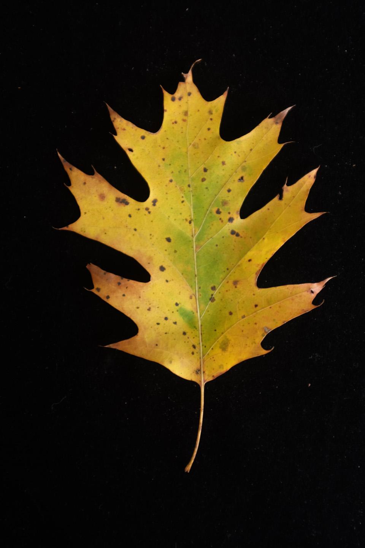 rw-leaf shapes-5089.jpg