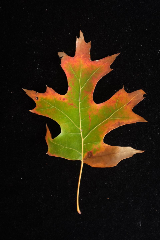rw-leaf shapes-5100.jpg