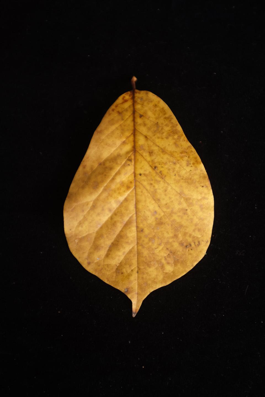 rw-leaf shapes-5166.jpg