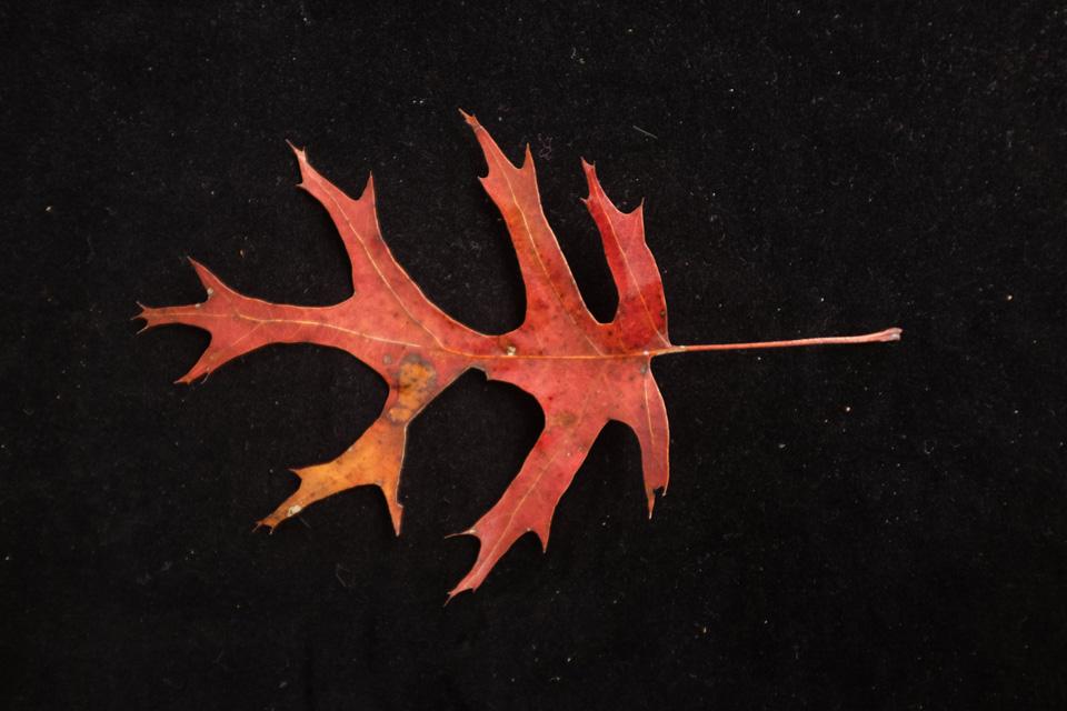 rw-leaf shapes-5172.jpg