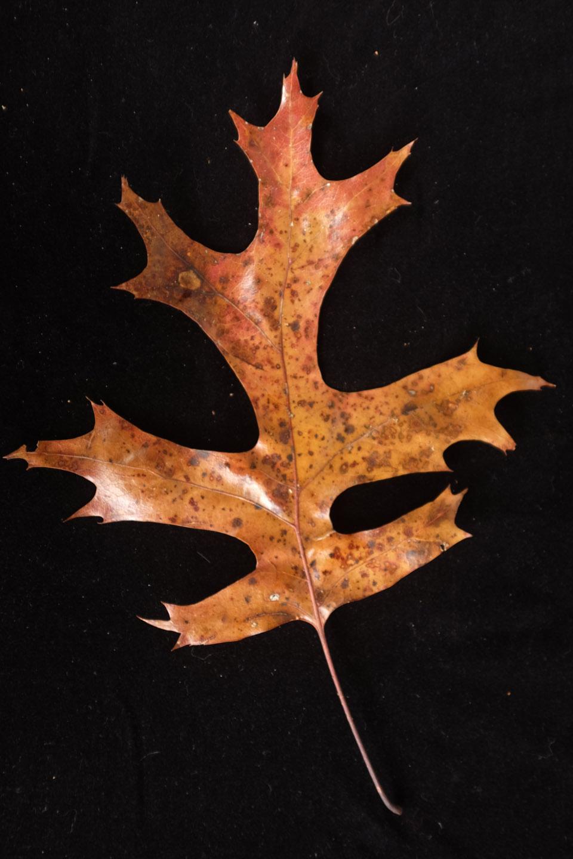 rw-leaf shapes-5181.jpg