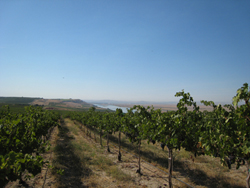 Bacchus Vineyard