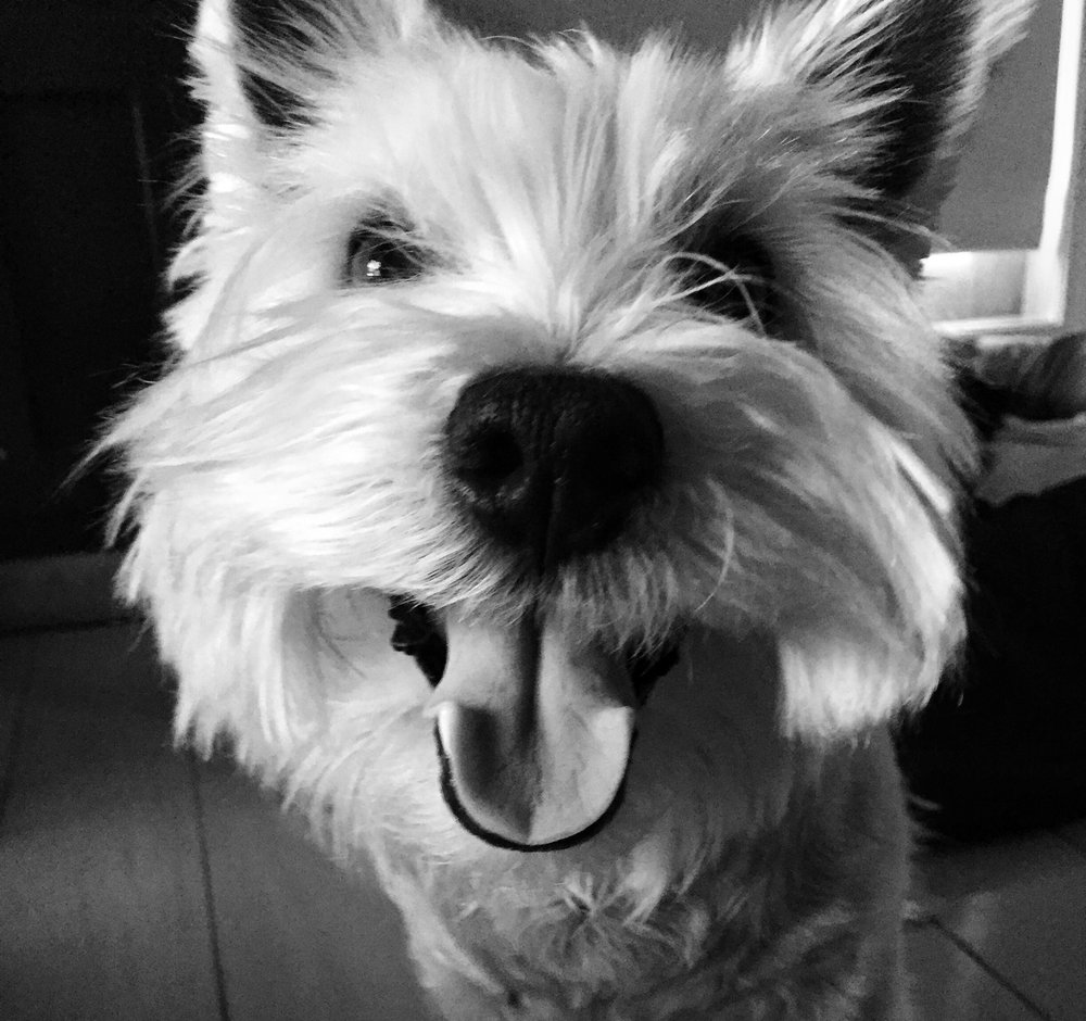 Abbey the Westie