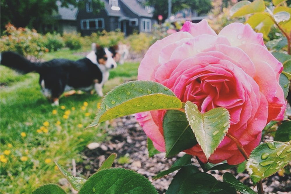 My dog, Moses, amidst the roses.