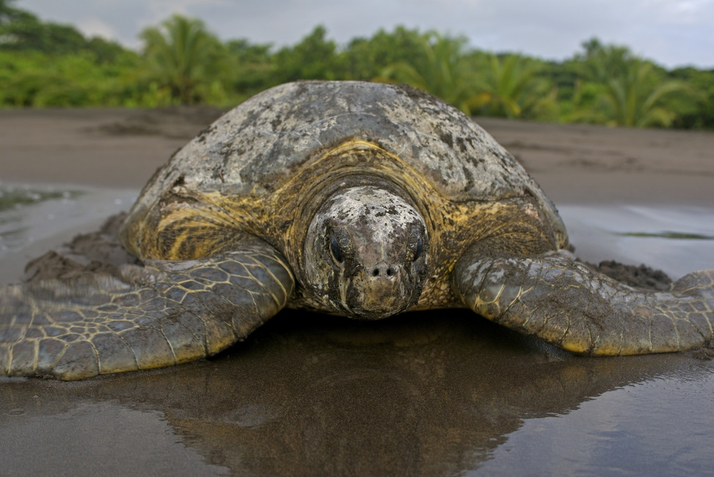 Green turtle in Tortuguero, Costa Rica