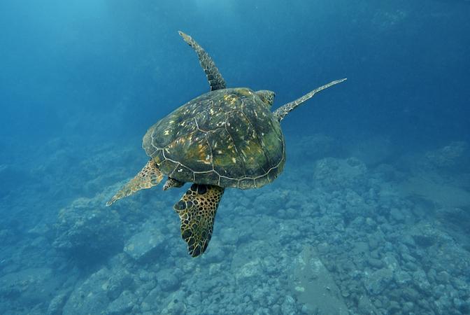 pacific ocean sea turtles gallery