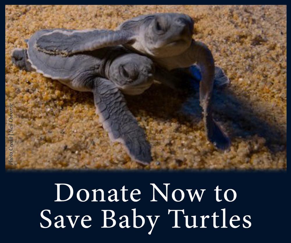 Juvenile Sea Turtles See Turtles