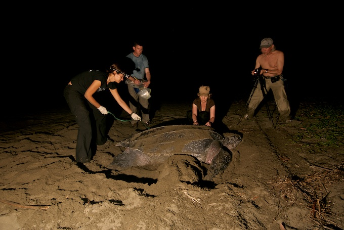 Volunteers measuring a leatherback turtle