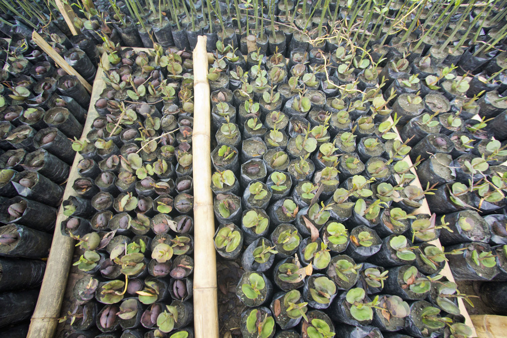 MANGROVE HATCHERY (PHOTO BY HAL BRINDLEY)