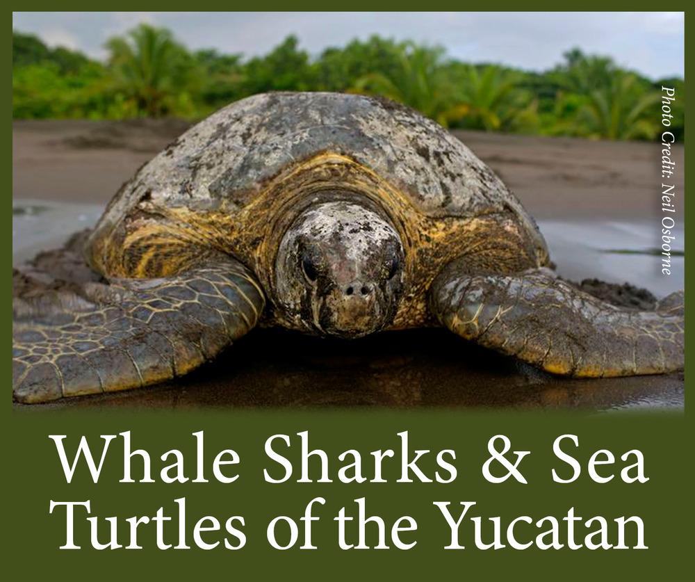 SEE Turtles Baja Turtles 1.png