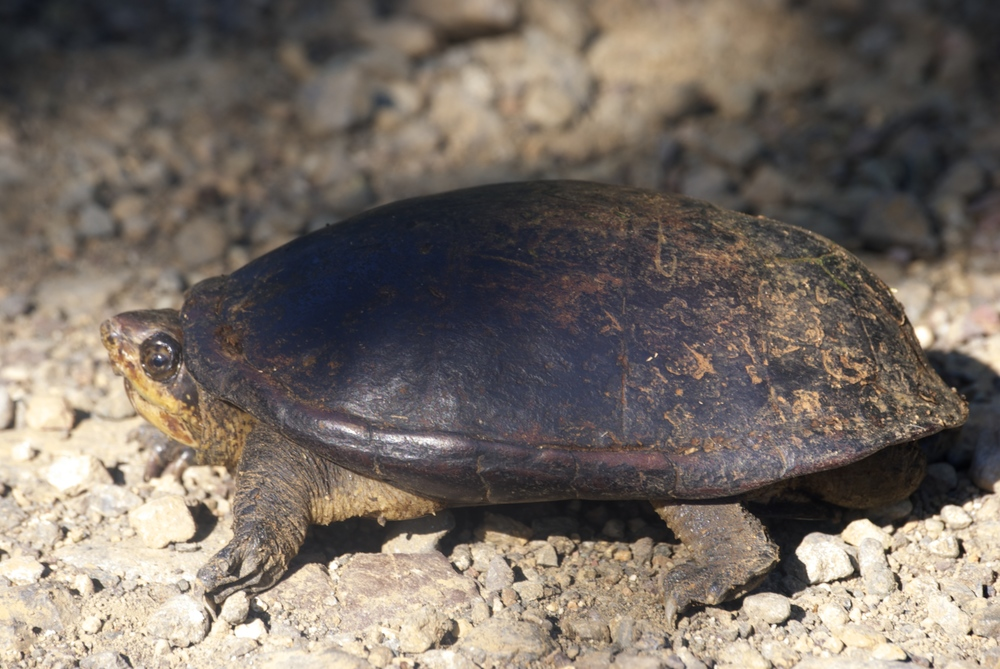 White lipped mud turtle in El Progreso