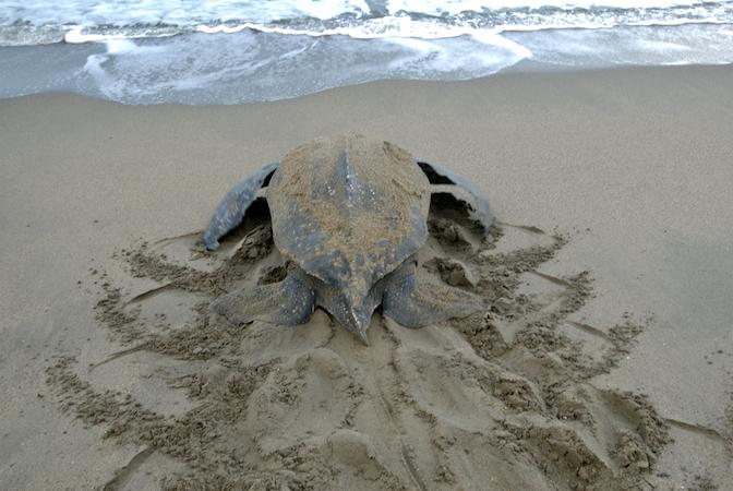 Leatherback Sea Turtle Facts | Leatherback Sea Turtle Habitat & Diet