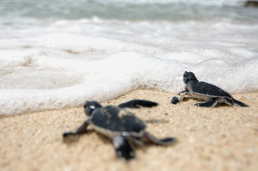 a research on sea turtles Facts about sea turtles including habitat, diet, threats, and more.