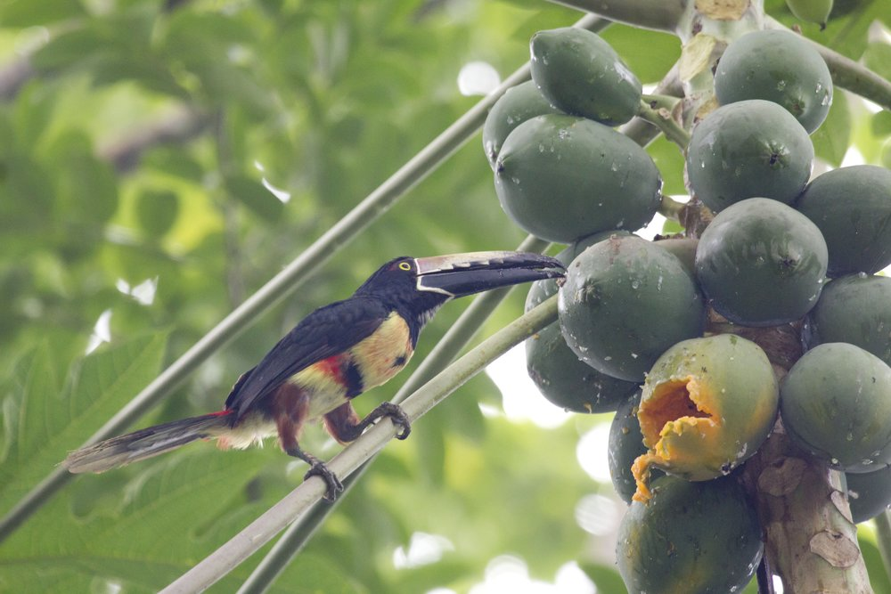 Aracari feeding on papaya